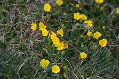 Potentilla crantzii (douneika) Tags: potentilla crantzii rosaceae taxonomy:family=rosaceae taxonomy:binomial=potentillacrantzii montesummano