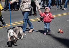 P4089905 (Mark J. Stein) Tags: 2017 nj photobymarkjstein photobymarkstein streetphotography doodah oceancity streetshooter dogs dog doodahparade child