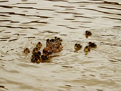 Malkins Bank Brood No. 3 (Wildlife Terry) Tags: cute mallard ducklings trentmerseycanal malkinsbank sandbach cheshire ducks drakes brood walkingbirdwatching wildlifeandnature amateurphotography wheelock wildlife watcher cheshirecountryside cheshireringcanalswalk