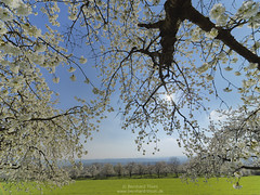 Cherry blossom at Walberla N°3 (Bernhard_Thum) Tags: bernhardthum thum walberla h6d100 hasselblad spring cherryblossom kirschblüte franken hcd4824 frühjahr nature elitephotography tistheseason rockpaper