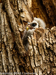 Easter Owlet_20A9543 (Alfred J. Lockwood Photography) Tags: alfredjlockwood nature bird barredowl owlet colleyvillenaturecenter overcast texas spring nest