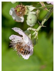 Honey bee. (PAULALSOBROOKS) Tags: yellow purple flower blackberry spring brok blur macro alsobrooks 50mm canon honeybee bee honey