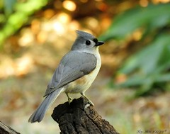 The Messenger (Gary Helm) Tags: tuftedtitmouse messenger bird birds perch image photograph canon camera sx60hs powershot wildlife nature outside outdoor ghelm4747 garyhelm polkcounty lakewales florida fly flight wings feathers backyard usa us northamerica