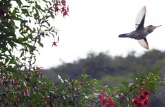 De flor en flor (Imthearsonist) Tags: picaflor colibrí tortel caletatortel pajaro naturaleza surdechile regiondeaysen hummingbird bird closeup nature