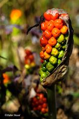 Fruit de l'arum (didier95) Tags: fruitdelarum arum fleur rouge nature plante