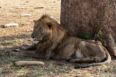 Dying lion (supersky77) Tags: lion pantheraleo dying morente kidepo kidepovalleynationalpark uganda