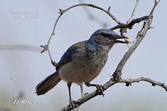 Western Scrub-Jay  ( Aphelocoma Californica ) (Edhorton) Tags: spring mt ranch las vegas nevada wildlife birding western scrubjay aphelocoma californica