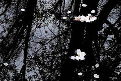 Untitled 295 (Takako Kitamura) Tags: cherryblossom reflection water