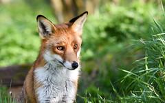 Fox (Karen Armitage) Tags: fox vulpesvulpes mammal nature wildlife uk