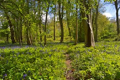 Glorious sunshine (braddalad123) Tags: forest wood woodland tree trees nature bluebell bluebells path trail track sun sunlight sunshine light tranquil contrast colour beautiful nikon d3200 1855mm outdoor landscape lincolnshire