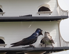 Purple Martins in my backyard (B.Heacker) Tags: colt waco birds lake wildlife