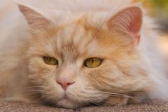 Hmpf .... (FocusPocus Photography) Tags: linus katze kater cat chat gato tier animal haustier pet sulking schmollt