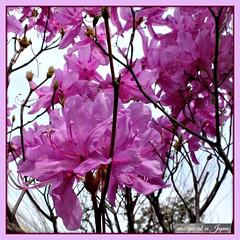 """Look at the cherry blossoms!"" (martian cat) Tags: ribbet japan yokohama japanesecherryblossoms ©martiancatinjapan allrightsreserved© ©allrightsreserved flower nature treeblossoms martiancatinjapan© ☺allrightsreserved cherryblossom allrightsreserved ☺martiancatinjapan martiancat martiancat© ©martiancat martiancatinjapan"