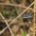 Southern Spreadwing - Lestes australis, Mason Neck, Virginia