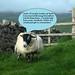 sheep1txt_8371