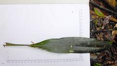 Cordyline rubra (grandolebillyboy) Tags: rockycreekdambigscrubflorareserve newsouthwales asparagaceae laxmanniaceae redfruitedpalmlily palmlily cordyline cordylinerubra rainforestplant nswrainforestplant leaf