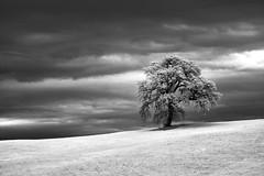 Single tree (hbothmann) Tags: toskana tuscany toscana tree infraredphotography infrarotfotografie infrarödfotografering infraroodfotografie infrarotaufnahme schwarzweis blackandwhite blackwhite cretesenesi planar8514za