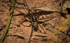 Miturgidae (dustaway) Tags: northernrivers nsw nature australia arthropoda arachnida araneae araneomorphae miturgidae genus australianspiders groundspider naughtonsgap