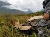 Alaska Moose and Bear Hunt - Dillingham 38