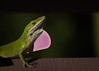 More Anole pictures (lit t) Tags: canon60d terridoaktaylor lizard greenanole macro danger mating throatpuffing matingdance backoffhuman nature naturallight green bumpy pink boastful