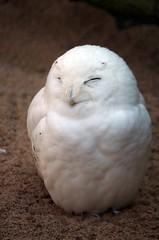 snow owl - Schneeeule (Männchen) (Frank S (aka Knarfs1)) Tags: scheeeeule snow owl vogel bird nyctea scandiaca zoom zoo schneeeule