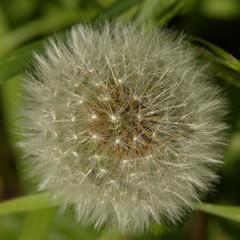 Dandelion seed head (Victor Engmark) Tags: flower plant outdoor green white dandelion seeds headington unitedkingdom