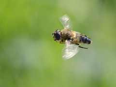 Tapered drone fly / Kegelbijvlieg / Eristalis pertinax (Greeney5) Tags: tapereddronefly kegelbijvlieg eristalispertinax eristalis zweefvlieg syrphidae hoverfly fly flying insecten insects insect insectinflight insectsinflight macro action actie genhoesschaelsberg schaelsbergerbos