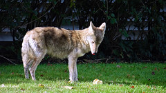 Oops I dropped my Apple (GerdaKettner) Tags: coyotes sheffield mammals carnivores canislatrans midwestnature illinois schaumburg urbancoyote coyote
