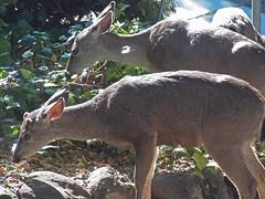 ivy leaves (Riex) Tags: animal deer biche chevreuil ivy lierre urban wildlife sfba california californie z990 schneiderkreuznach variogon kodakeasysharemax