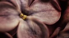 #photography #canon700d #istanbul #bahar #spring #flowers #flower #snapseed  #çiçek #colorofspring #sümbül #makro #studiophotography #hyacinth (oppeslife) Tags: çiçek snapseed flower photography hyacinth bahar studiophotography colorofspring spring canon700d sümbül istanbul flowers makro