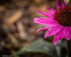 Partly Bright Pink (that_damn_duck) Tags: nature plant flower petals blossom blooming stems springtime