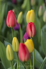 Blooming Tulips (NikonDigifan) Tags: rozengaarde tulips skagitvalleytulipfestival skagitvalley mtvernon washington westernwashington flowers niksoftware colorefexpro nikond750 tamron150600g2 mikegassphotography