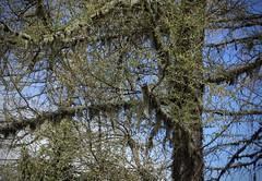 mélèze en éveil (bulbocode909) Tags: valais suisse alpagedutronc montchemin arbres mélèzes printemps nature montagnes troncs branches bleu vert lichens