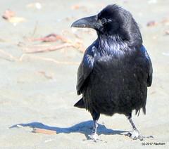 DSC_0295 (rachidH) Tags: birds crow raven corbeau corneille oceanbeach pacific ocean sanfrancisco california ca commonraven corvuscorax grandcorbeau corvus corvids corvidae rachidh nature