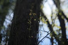 Canemah Bluff (Tony Pulokas) Tags: spring oregon bokeh blur leaf forest oregoncity canemahbluffnaturepark tree maple tilt canemahbluff bigleafmaple poisonoak
