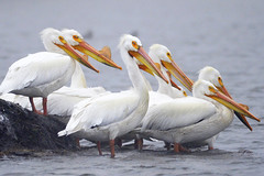 Pelican Eyes (Buzz Hoffman) Tags: americanwhitepelican minnesota windom bird