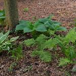 Shade garden plants hostas and ferns thumbnail
