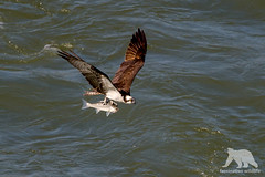 Big Catch (fascinationwildlife) Tags: animal wild wildlife nature natur sea osprey fischadler inflight catch fish hunt bird raptor vogel raubvogel california usa america jenner coast