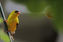 American Goldfinch (beccafromportland) Tags: bird yellow gold finch mybackyard americangoldfinch