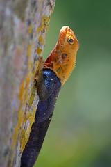 Agama agama's head is aglow in the morning light (jungle mama) Tags: reptile ngc lizard fairchildgarden fairchildtropicalbotanicgarden supershot agamaagama rememberthatmomentlevel1 rememberthatmomentlevel2
