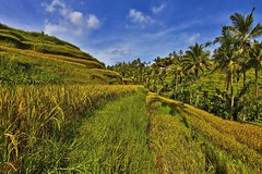 Rice terraces #3 (Ausamah) Tags: old travel sky bali woman man reflection green art love water girl beautiful field indonesia temple photography bahrain paradise child gulf rice julia farmers terrace farm pray grow scene arabic eat national arab roberts arabian agriculture hindu indonesian geographic peasant balinese ausamah alabsi
