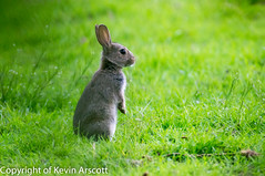 Rabbit, alert to my presence