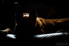 Mali on the sofa (Neferkheperure) Tags: portrait dog pet male animal sofa tired belgian backlit resting lying malinois sheperd