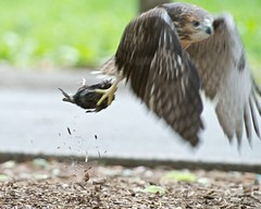 Off to Eat Dinner (mausgabe) Tags: nyc hawk centralpark juvenile redtail nikond800 tc20eiii 300mmf28gvrii