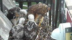 feeding2 (Cornell Lab of Ornithology) Tags: red bird big nest feeding hawk cam cams cornell ithaca hawks redtailedhawk nestlings ithacany cornelllabofornithology