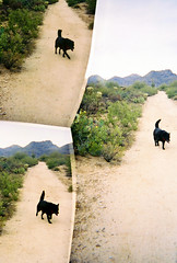 (K e v i n) Tags: arizona dog southwest film analog cacti 35mm lucy desert az perro dirtroad sonorandesert marana fujisuperiaxtra400 southernarizona fujis400 southernaz tortolitas 3lenses disderirobot3