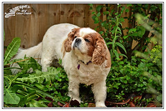 Queenie (draco-man2) Tags: uk dog pet garden geotagged nikon focus scenic naturallight hampshire andover handheld local kingcharlesspaniel 35mmf18 d3100 ononeperfecteffects4