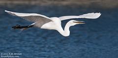 Great Egret (Bob Stronck) Tags: avian greategret redwoodcity redwoodshores sanmateocounty ardeaalba stronckphotocom birdsofsanfranciscobay ©2013rmstronck