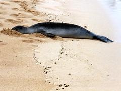 Poipu Beach (K e v i n) Tags: vacation island hawaii coast sand honeymoon kauai poipu hi southshore poipubeach hawaiianmonkseal poipubeachpark