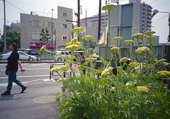中河原 花 Fuchu-si, Tokyo (ymtrx79g ( Activity stop)) Tags: street plant color film japan analog tokyo kodak 35mmfilm fujifilm 東京 135 植物 府中市 街 写真 銀塩 nakagawara フィルム kodakultramax400 fujicardiaminieverydayop 中河原 fuchusi 歩行走行 walkandrun 201306blog